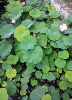 津島神社の蓮の花