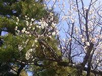 彦根城の梅